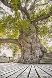 Oak Guillotin Stampa fotografica di Viviane Fedieu Daniel