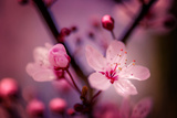 Cherry Blossums 4 Metal Print by Philippe Sainte-Laudy