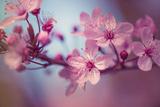 Cherry Blossums 1 Metal Print by Philippe Sainte-Laudy