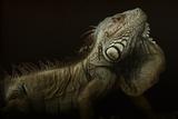 Iguana Profile Photographic Print by Aleksandar Milosavljevi?