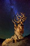 Bristlecone Pine Photographic Print by Tanja Ghirardini