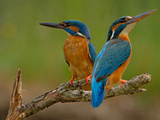 Kingfisher (Alcedo Atthis) Papier Photo par Stefan Benfer