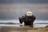 Bald Eagle Photographic Print by Milan Zygmunt