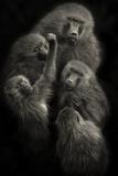 "Baboons ""United"" Photographic Print by Mario Moreno"