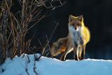 Red Fox Fotografisk trykk av Sanin Alexandr