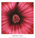 Lavatera Prints by Andrew Levine