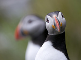 Posing Puffin Photographic Print by Olof Petterson