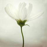White Cosmos Fotografisk tryk af Lotte Grønkjær