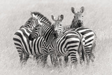 Zebras Photographic Print by Kirill Trubitsyn