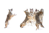 The Choir - Coyotes Photographic Print by Jim Cumming