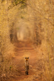 The Tiger in the Tunnel Photographic Print by AB Apana