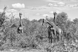Awesome South Africa Collection B&W - Three Giraffes in the African Savannah Photographic Print by Philippe Hugonnard