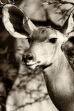 Awesome South Africa Collection B&W - Portrait of Nyala Antelope III Photographic Print by Philippe Hugonnard