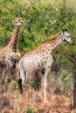 Awesome South Africa Collection - Two Giraffes II Photographic Print by Philippe Hugonnard