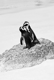 Awesome South Africa Collection B&W - Penguin Lovers III Photographic Print by Philippe Hugonnard