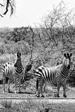 Awesome South Africa Collection B&W - Two Zebras on Savanna III Photographic Print by Philippe Hugonnard