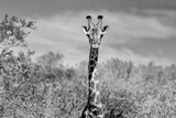 Awesome South Africa Collection B&W - Giraffe Portraits II Photographic Print by Philippe Hugonnard