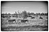 Awesome South Africa Collection B&W - Zebras Herd on Savanna III Photographic Print by Philippe Hugonnard