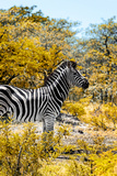 Awesome South Africa Collection - Burchell's Zebra VII Photographic Print by Philippe Hugonnard