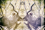 Awesome South Africa Collection - Reflection of Greater Kudu - Honey & Mauve Photographic Print by Philippe Hugonnard