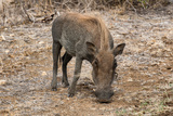 Awesome South Africa Collection - Warthog Photographic Print by Philippe Hugonnard