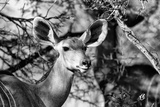 Awesome South Africa Collection B&W - Portrait of Nyala Antelope II Photographic Print by Philippe Hugonnard