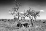 Awesome South Africa Collection B&W - Two White Rhinoceros IV Photographic Print by Philippe Hugonnard
