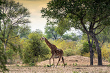 Awesome South Africa Collection - Giraffe in the Savanna Photographic Print by Philippe Hugonnard