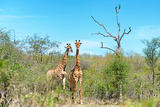 Awesome South Africa Collection - Two Giraffes Photographic Print by Philippe Hugonnard