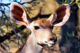 Awesome South Africa Collection - Portrait of a Female Nyala Antelope I Photographic Print by Philippe Hugonnard