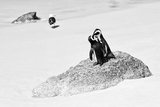 Awesome South Africa Collection B&W - Penguin Lovers II Photographic Print by Philippe Hugonnard