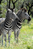 Awesome South Africa Collection - Two Burchell's Zebra II Photographic Print by Philippe Hugonnard