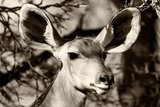 Awesome South Africa Collection B&W - Portrait of Nyala Antelope V Photographic Print by Philippe Hugonnard