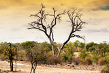 Awesome South Africa Collection - Savanna Tree at Sunset Photographic Print by Philippe Hugonnard