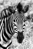 Awesome South Africa Collection B&W - Zebra Portrait II Photographic Print by Philippe Hugonnard