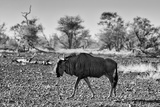 Awesome South Africa Collection B&W - Blue Wildebeest Photographic Print by Philippe Hugonnard