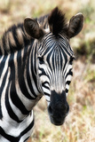 Awesome South Africa Collection - Burchell's Zebra XII Photographic Print by Philippe Hugonnard