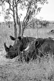 Awesome South Africa Collection B&W - Two White Rhinoceros III Photographic Print by Philippe Hugonnard