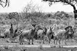 Awesome South Africa Collection B&W - Six Zebras on Savanna Photographic Print by Philippe Hugonnard