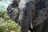 Awesome South Africa Collection - African Elephant Portrait Photographic Print by Philippe Hugonnard