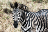 Awesome South Africa Collection - Burchell's Zebra Photographic Print by Philippe Hugonnard
