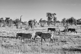 Awesome South Africa Collection B&W - Zebras Herd on Savanna Photographic Print by Philippe Hugonnard