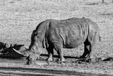 Awesome South Africa Collection B&W - Black Rhinoceros II Photographic Print by Philippe Hugonnard