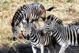 Awesome South Africa Collection - Three Zebras Photographic Print by Philippe Hugonnard