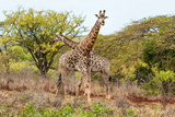Awesome South Africa Collection - Two Giraffes VI Photographic Print by Philippe Hugonnard
