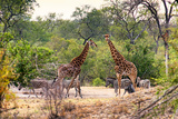 Awesome South Africa Collection - Giraffes and Burchell's Zebra Photographic Print by Philippe Hugonnard