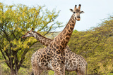 Awesome South Africa Collection - Two Giraffes VIII Photographic Print by Philippe Hugonnard