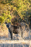 Awesome South Africa Collection - Hyena at Sunset II Photographic Print by Philippe Hugonnard