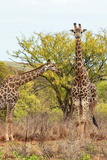 Awesome South Africa Collection - Two Giraffes V Photographic Print by Philippe Hugonnard