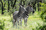 Awesome South Africa Collection - Two Burchell's Zebra I Photographic Print by Philippe Hugonnard
